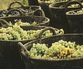 Freshly Harvested Wine Grapes in Baskets