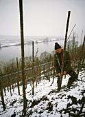Untying vine branches in wintry Trittenheim, Mosel