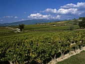 Vineyard at Valreas for AC Cotes du Rhone-Villages,Rhone valley