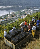 Picking Syrah grapes above Ampuis, Cote Rotie, Rhone