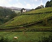 Weinberg bei St-Jean-Pied-de-Port,Pyrenäen,Südwestfrankreich
