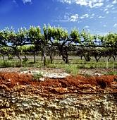 Vineyard profile showing terra rossa, Coonawarra, S. Australia