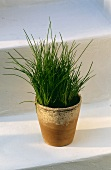 Chives Growing in a Clay Pot