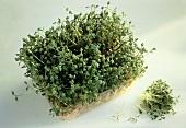 A Box of Garden Cress