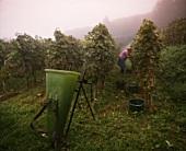 Weinlese im Herbstnebel am Hang des Kaiserstuhl in Baden