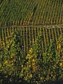 Hubertuslay vineyard at harvest time near Kinheim, Mosel