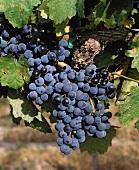 """Lemberger grapes, known in Austria as """"Blaufränkisch)"""