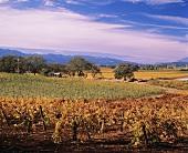 Weinberg im Herbst bei Oakville im zentralen Napa Valley, USA
