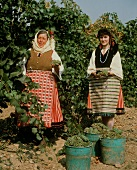 Frauen in Tracht bei der Chardonnay-Lese in Blatetz,Bulgarien