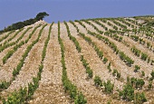 Wide rows of vines on the stony ground of Provence