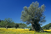 Olive trees in flowery meadow in Majorca