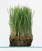 Fresh spelt grass