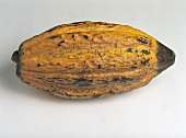 A ripe cocoa fruit against grey background