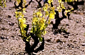 Spring leaves on Gamay vine in Beaujolais, Burgundy