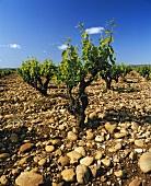 Gobelet, old method of training vines, Chateauneuf-du-Pape