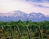 Vineyard in view of the Andes foothills, Mendoza, Argentina