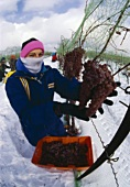 Vidal grape harvest for ice wine, Niagara peninsula, Canada