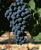 Ripe Cabernet Sauvignon grapes on the vine, Australia