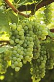 Semillon grapes on the vine in Hunter Valley, Australia