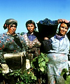 Moroccan grape pickers, Chateauneuf du Pape, Rhone