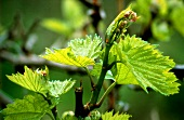 Spring buds on a Chardonnay vine, Australia