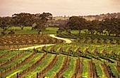 Weingarten des Gutes Leasingham im Clare Valley, Australien