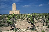 Merlot vineyard in front of disused windmill on Majorca