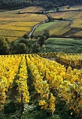 Viticulture on loess soil: Vergisson, Maconnais, France