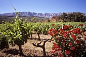 Vineyard of Domaine Richeaume, Aix en Provence, S. France