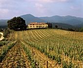 Merlot vineyard, Grattamacco Estate, Bolgheri, Tuscany, Italy