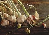 Still Life of Whole Garlic Plants