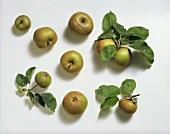 Still Life of Russet Apples