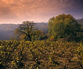 Late autumn vineyard near Chiroubles, Beaujolais, Burgundy