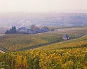Autumn vines surrounding the Baiken State Wine Estate (Rheingau)