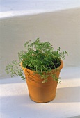 Dill Growing in a Clay Pot