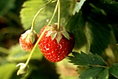 Two Strawberries Growing on a Strawberry Plant