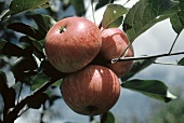 Three Apples Growing on a Branch