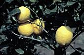 Four Lemons Growing in a Tree