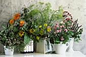 Assorted Blooming Herbs in Pots