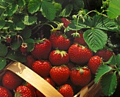 Strawberries in a Basket Surrounded by Plants