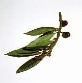 Bayleaves on the Branch