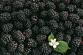 Many Blackberries with Blossom