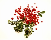 Several Cranberries with Cranberry Leaves