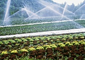 Spraying Water Over a Lettuce Field