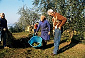 People Harvesting Olives in an Olive Grove