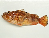 One Scorpion Fish