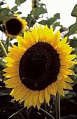 Eine Sonnenblume auf dem Feld