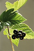 Black Currants on a Branch