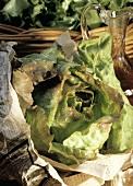 Fresh Butterhead Lettuce Wrapped in Newspaper