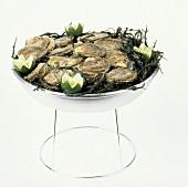Austern in einer Schale mit Eiswasser, Seetang & Limetten